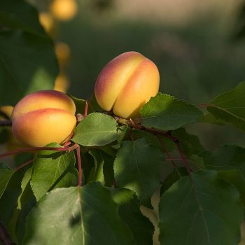 vesta-apricots-galley-02