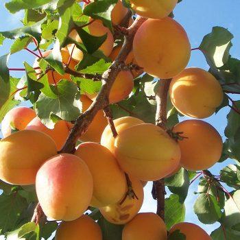 vesta-apricots-galley-10