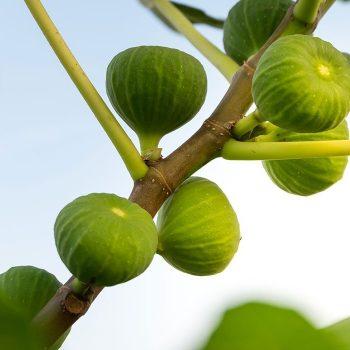 vesta-dried-figs-gallery-02